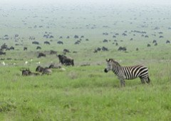 Zebra in the Serengeti Wildebeest Migration