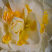 Tulipán cocinillas