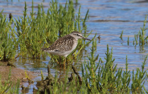 """Wood Sandpiper, Hayle, 07.08.15 (M.Halliday) • <a style=""""font-size:0.8em;"""" href=""""http://www.flickr.com/photos/30837261@N07/19799949394/"""" target=""""_blank"""">View on Flickr</a>"""