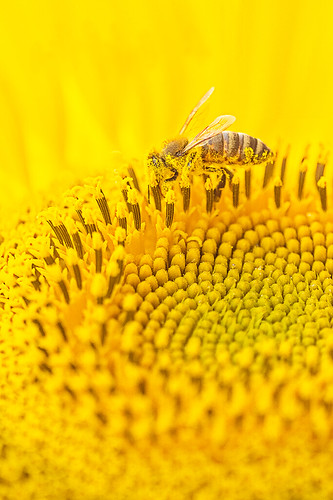 """Bee at work in a sunflower • <a style=""""font-size:0.8em;"""" href=""""http://www.flickr.com/photos/22289452@N07/19703852753/"""" target=""""_blank"""">View on Flickr</a>"""