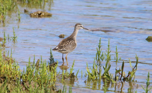 """Wood Sandpiper, Hayle, 07.08.15 (M.Halliday) • <a style=""""font-size:0.8em;"""" href=""""http://www.flickr.com/photos/30837261@N07/19801662543/"""" target=""""_blank"""">View on Flickr</a>"""