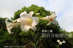 苗栗|三義野百合秘密花園;台灣難得一見的自然景色