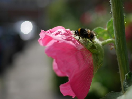 Bee with pollen on a hollyhock #Amsterdam #bokeh #flower  #mft #m43 #nofilter