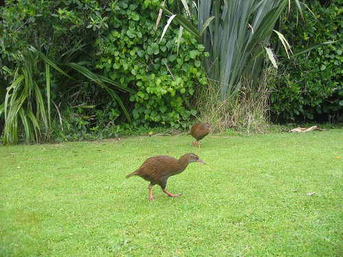 Weird New Zealand Bird - Weka