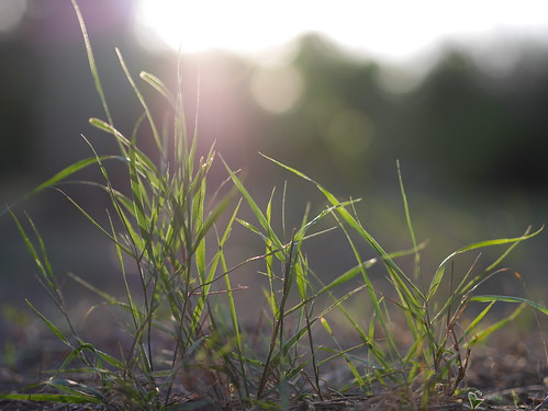 Lens flare grass at sunset #mallorca #spain #bokeh #sunset