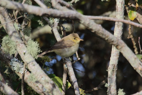 """Melodious Warbler, Lands End, 250915 (M.Halliday • <a style=""""font-size:0.8em;"""" href=""""http://www.flickr.com/photos/30837261@N07/22118333092/"""" target=""""_blank"""">View on Flickr</a>"""