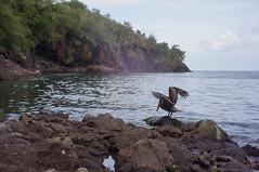 Pélican Martiniquais
