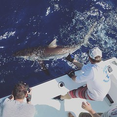 Catching some big sharks this week.
