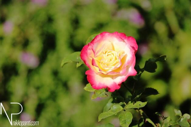 Flowers Nikko Panti Misterbaks 3