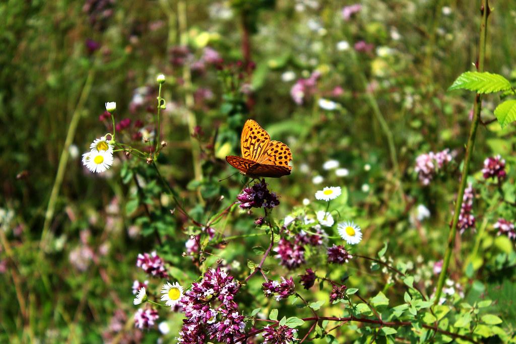 Imagen gratis de una mariposa en un campo de flores