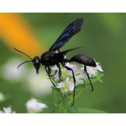 Small Crop Of Great Black Wasp