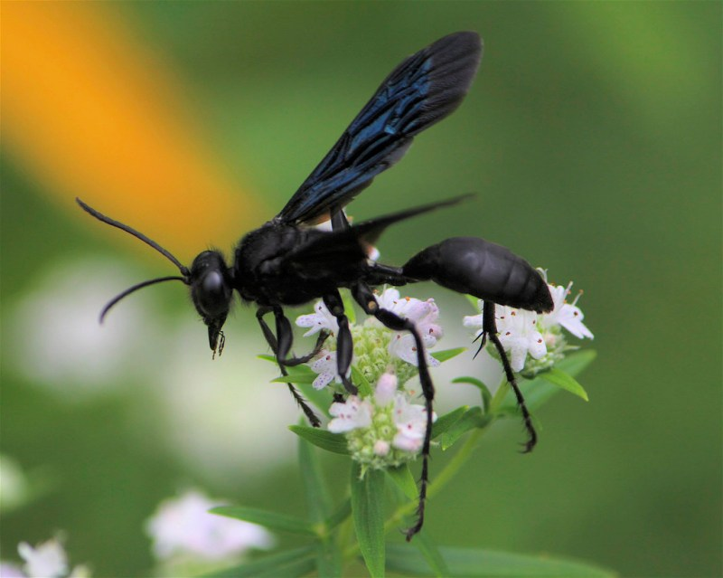 Large Of Great Black Wasp