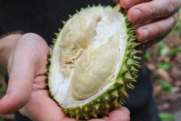 Durians drop from the trees. Sawai, Pulau Seram