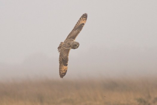 Short-eared Owl, Predannack, 090317 (A.Hugo)