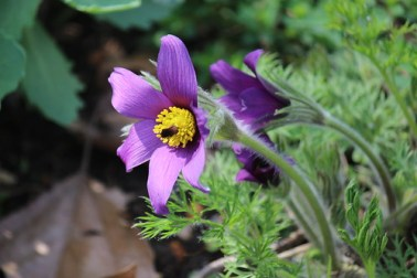 a4 Pasqueflower