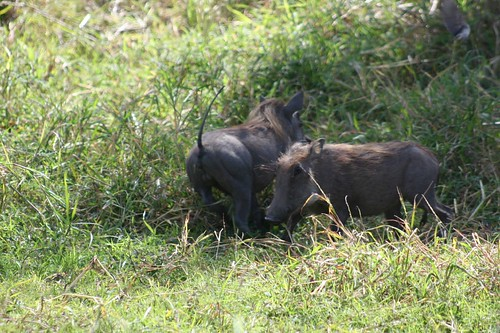 warthogs playing in the bush