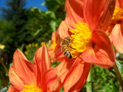 Orange Dahlia with Bee