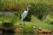 Great Egret and turtles
