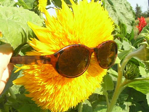 Double Santa Fe Sunflower With Sunglasses