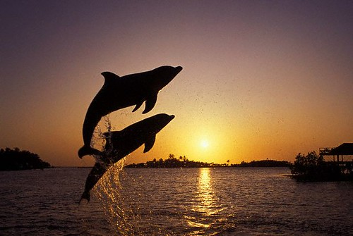 Leaping Dolphins