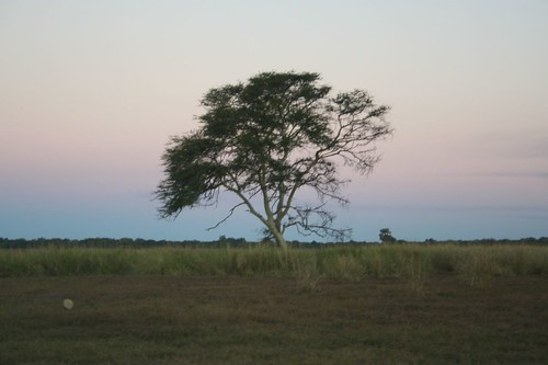 Fever tree, Gorongoza
