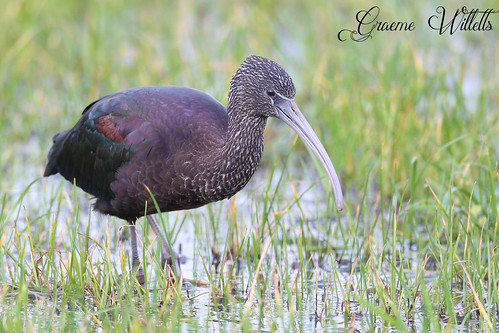 "Glossy Ibis, Marazion, 05.02.16 (G.Willetts) • <a style=""font-size:0.8em;"" href=""http://www.flickr.com/photos/30837261@N07/25286057802/"" target=""_blank"">View on Flickr</a>"