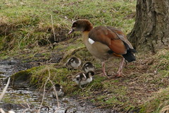 Egyptian Goose with brood
