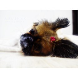 Popular Dogs Pekingese Flickr Hive Chronic Pink Sara Pink Dog Dogs Field Animal Spekingese Photos Dogs Pink Boxer Dogs bark post Pink Eye In Dogs