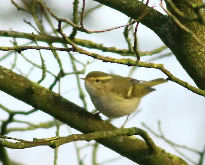 """Yellow-browed Warbler, Saltash, 28.02.16 (C.Buckland) • <a style=""""font-size:0.8em;"""" href=""""http://www.flickr.com/photos/30837261@N07/25311364121/"""" target=""""_blank"""">View on Flickr</a>"""