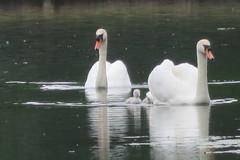 Hampton Court swans