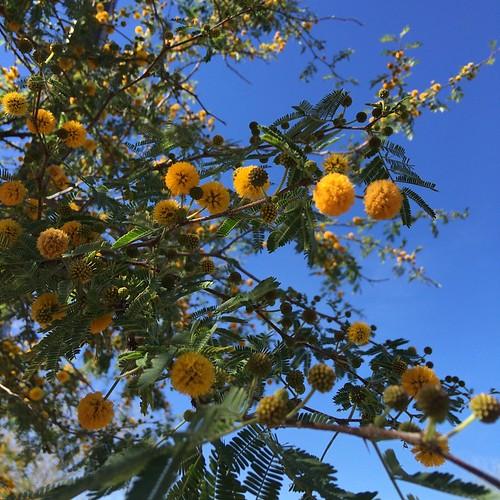 acacia bloom
