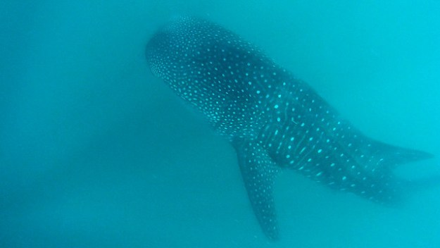 Whale shark in the blue. Donsol