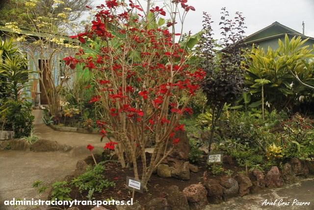 Jardín Botánico Tau Kiani (Isla de Pascua) - Corona del Inca (Euphorbia pulcherrima)