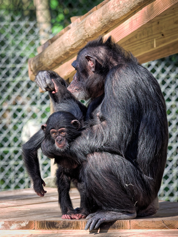 Baby Chimp and foster Mom