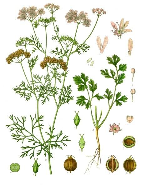 Coriandrum_sativum_-_Köhler–s_Medizinal-Pflanzen-193