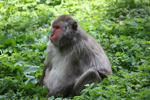 bonobo-540912_960_720