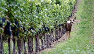 thewinery-1-deer