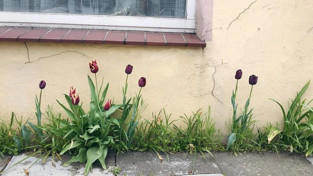Can't believe these tulips have survived and thrived in the sidewalk cracks of Harburg! #wwim13hh