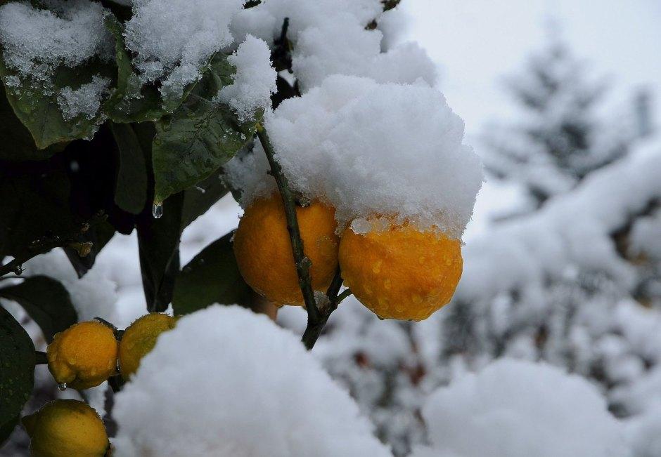 Schnee_Orange,_Citrus_×_aurantium_1