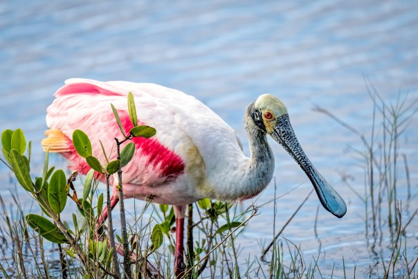 Spoonbill in the reeds