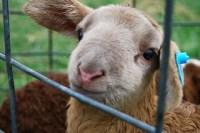 365/106  Lamb