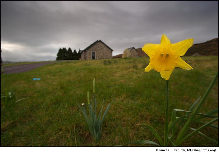 Mountain Daffodil