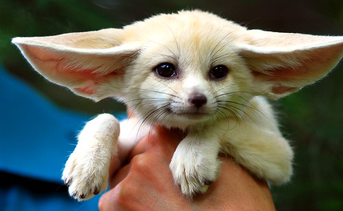 Picture of a Fennec fox.