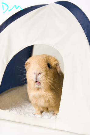 guinea pig photo shoot 19