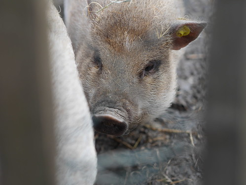 Little pig behind a fence #heijen #portrait