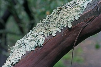 lichen on manzanita