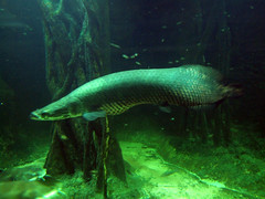 Arapaima (Travis S.) Tags: fish canada water vancouver aquarium