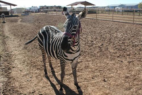full zebra,