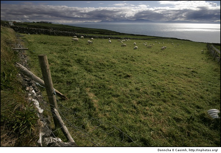 Sheep in a Kerry field