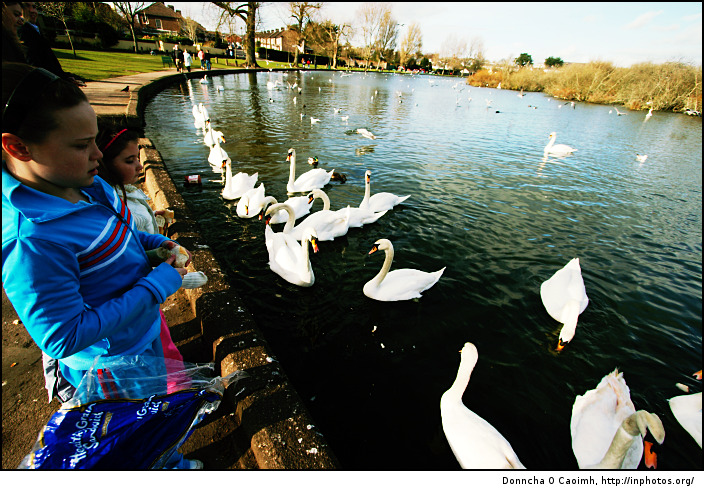 Feed the swans at the Lough